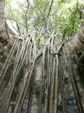 Wurzeln von Feigenbäumen verfluchten in einer alten Mühle von Guadeloupe stockbild