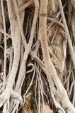 Wurzeln von Ficus lizenzfreies stockfoto