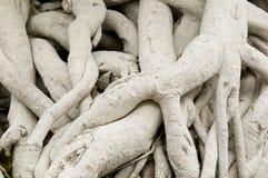 Wurzeln von Ficus lizenzfreie stockbilder