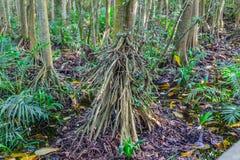Wurzeln von Mangrovenbäumen im Mangrovenwald, wie gesehen der Lekki-Erhaltungs-Mitte in Lekki, Lagos Nigeria lizenzfreie stockfotografie