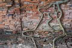 Wurzelt Baum auf der Wand an Wat Mahathat-Tempel, Markstein von Ayutt Lizenzfreie Stockfotos