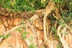 Wurzelt Baum auf Stein Stockbilder