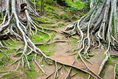 Wurzelt Niederlassung des großen Baums Lizenzfreie Stockbilder