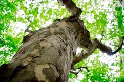 Wutong groene bladeren Stock Fotografie