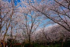 Cherry Blossom valley,wuxi,china. Wuxi Taihu Yuantouzhu Park Cherry Blossom valley royalty free stock photos