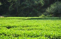 Wuyishan green tea fields Stock Photography
