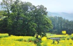 Wuyuan canola flower Royalty Free Stock Images