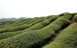 Wuyuan tea garden scenery Royalty Free Stock Photography