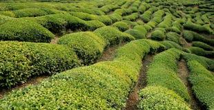 Wuyuan tea garden scenery Stock Photos