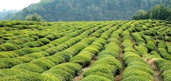 Wuyuan tea garden scenery Stock Images