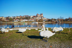 Wwans on the Rhine bank with Breisach castle in the background Stock Photos