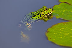 Water Frog (Pelophylax) Stock Photography