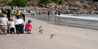WWF penguin release, New Zealand. World Wildlife Fund response team releases sixty little blue penguins after nursing them back to health following their being Royalty Free Stock Photos