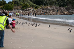 WWF penguin release, New Zealand. World Wildlife Fund response team releases sixty little blue penguins after nursing them back to health following their being Stock Photo
