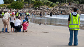 WWF penguin release, New Zealand. Royalty Free Stock Images