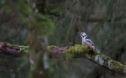 Wwhite-backed woodpecker Dendrocopos leucotos in spring Stock Image