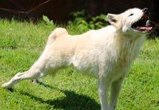 Wyć Biały Szary wilk przy Memphis zoo zdjęcia royalty free