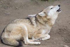 Wyć wilka w zoo zdjęcie stock