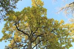 Wyłaniać się Dębowego drzewa Zdjęcie Royalty Free