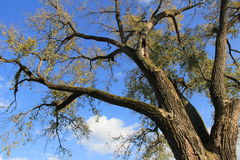 Wyłaniać się Dębowego drzewa Zdjęcia Stock