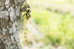 Wyłaniający się dragonfly Fotografia Stock