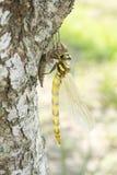 Wyłaniający się dragonfly w vertical Obraz Stock