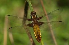 Wyłaniający się Szeroki bodied łowcy Dragonfly Libellula depressa zdjęcie stock