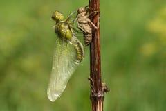 Wyłaniający się Szeroki bodied łowcy Dragonfly Libellula depressa zdjęcia stock