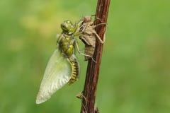 Wyłaniający się Szeroki bodied łowcy Dragonfly Libellula depressa fotografia stock