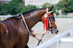 wyścig koni przewodów konia trzy zaokrągla się Portret koński zwycięzca Obrazy Royalty Free