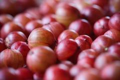 Wyśmienicie agrest dojrzałe owoce Agresta zakończenie Zdjęcie Royalty Free