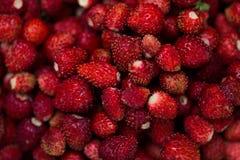 wyśmienicie truskawka dojrzałe owoce Zbieramy truskawki Zdjęcie Stock