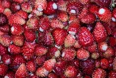 wyśmienicie truskawka dojrzałe owoce Zbieramy truskawki Zdjęcie Royalty Free