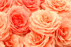 wyśmienite róże obraz royalty free