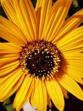 Wyśmienity słonecznik zdjęcia stock