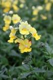 wyżlin Wyżlinu Antirrhinum majus kwiat dla sprzedaży, dekoracj lub prezenta, Antirrhinum kwiat w garnku motyla opadowy kwiecisty  Obrazy Royalty Free