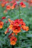wyżlin Wyżlinu Antirrhinum majus kwiat dla sprzedaży, dekoracj lub prezenta, Antirrhinum kwiat w garnku motyla opadowy kwiecisty  Fotografia Stock