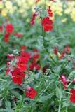 wyżlin Wyżlinu Antirrhinum majus kwiat dla sprzedaży, dekoracj lub prezenta, Antirrhinum kwiat w garnku motyla opadowy kwiecisty  Obraz Royalty Free