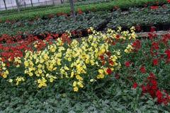 wyżlin Wyżlinu Antirrhinum majus kwiat dla sprzedaży, dekoracj lub prezenta, Antirrhinum kwiat w garnku motyla opadowy kwiecisty  Zdjęcia Royalty Free