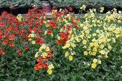 wyżlin Wyżlinu Antirrhinum majus kwiat dla sprzedaży, dekoracj lub prezenta, Antirrhinum kwiat w garnku motyla opadowy kwiecisty  Zdjęcia Stock