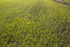 Wyżowa ryżowa kultywacja Fotografia Stock