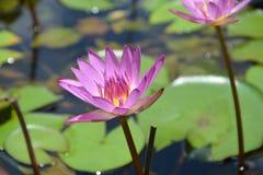 Wyśmienity lotos Fotografia Stock