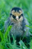 Wyandotte dorato irritabile Chick Chicken Fotografie Stock Libere da Diritti