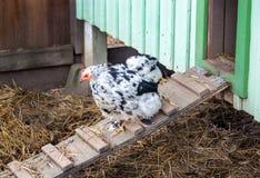 Wyandotte kurczak w kurnym domu Obrazy Royalty Free
