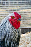Wyandotte rooster Royalty Free Stock Photos