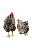 Wyandotte rooster and hen stock photos