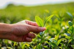 Wybór herbata Zdjęcie Royalty Free