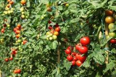 wybór przygotowywający dojrzały pomidory Zdjęcie Stock