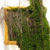 Wybielanie ściana Z Chowanym Żółtym okno W Zielonych winogradach Zdjęcie Royalty Free