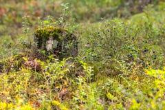 Wyborg-Wald, Leningrad-Region, Russland lizenzfreies stockbild